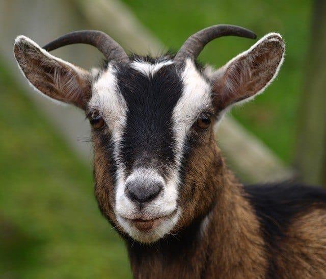 goat-324188_640